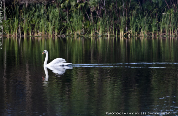 Swan Lake - Lee Smith Photography